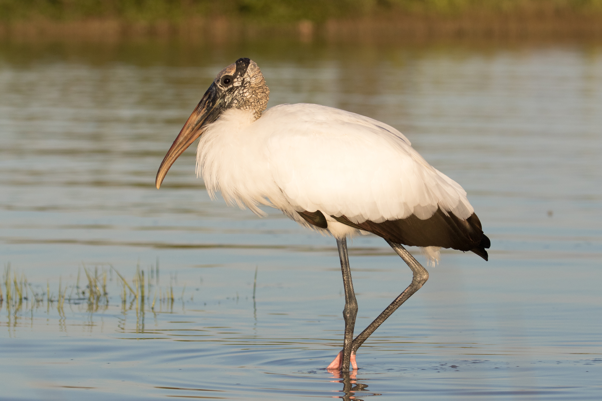 Wood Stork - (Mycteria americana) is an endangered species that inhabits the Florida Everglades