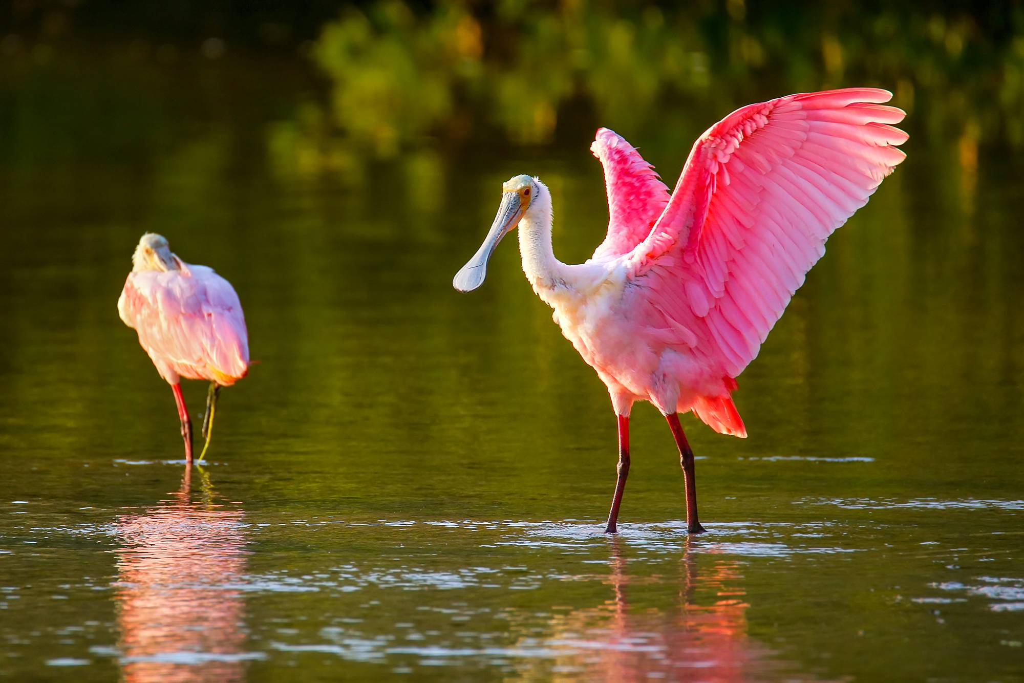Roseate Spoonbill - (Ajaia ajaja) name is inspired by their distinctive spoon-shaped bill
