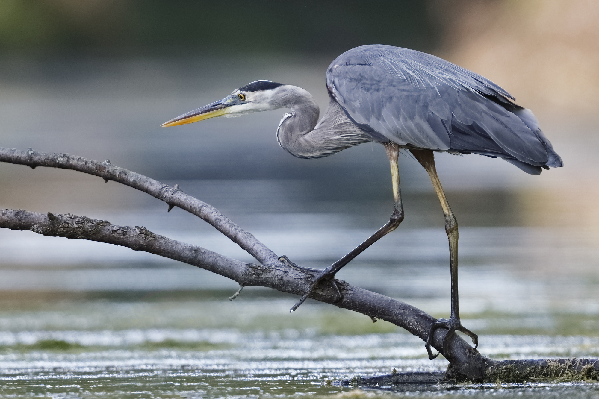 Great Blue Heron - (Ardea herodius) is one of the most common birds in the Florida Everglades