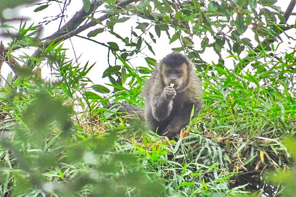 Tijuca Rainforest Monkey