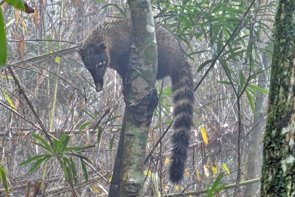 Tijuca Rainforest Coati