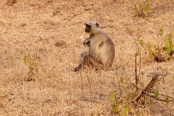 Ramthambore Monkey