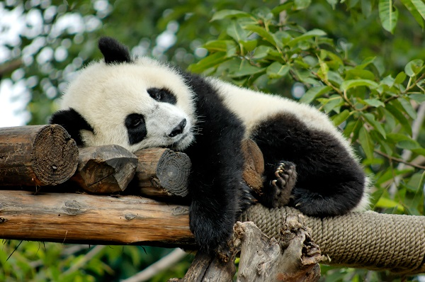 Panda resting in Chinese breeding centre