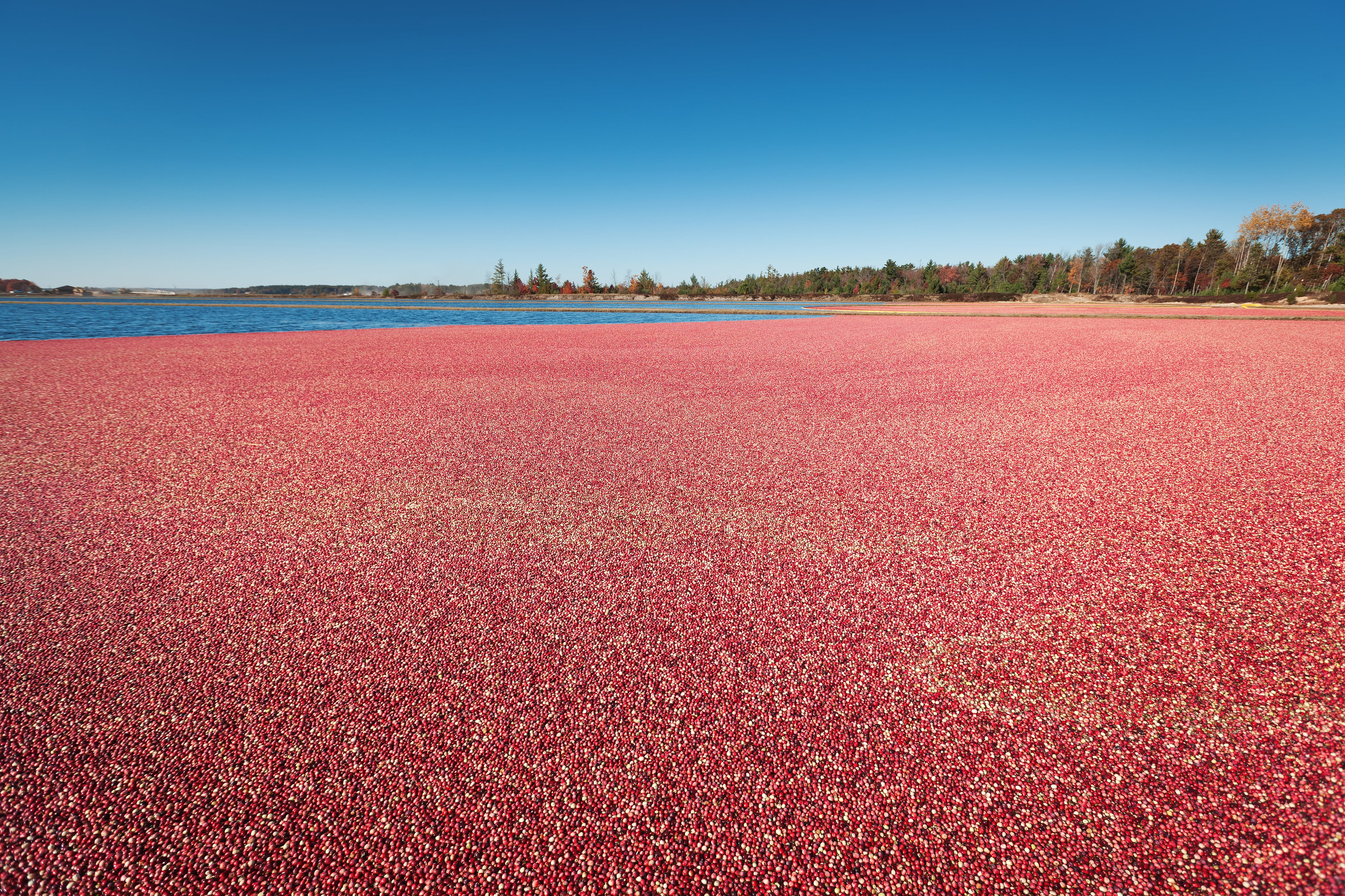 Marsh of cranberries