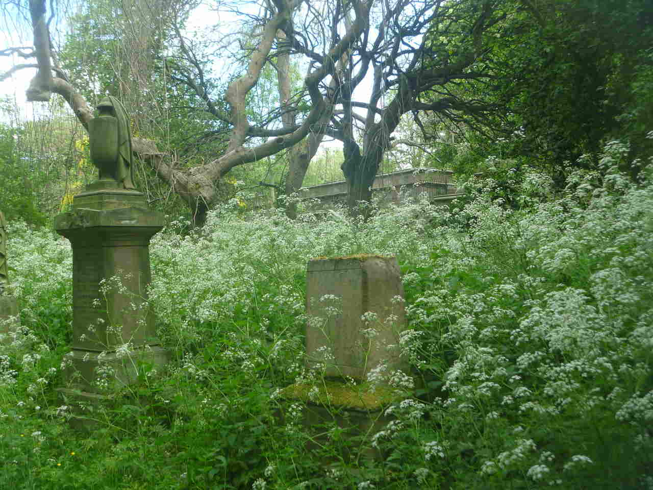 Clouds of Cow Parsley in the cemetery