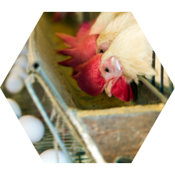Poultry Breeders