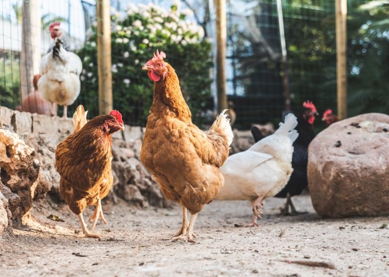 Backyard Poultry Improvement