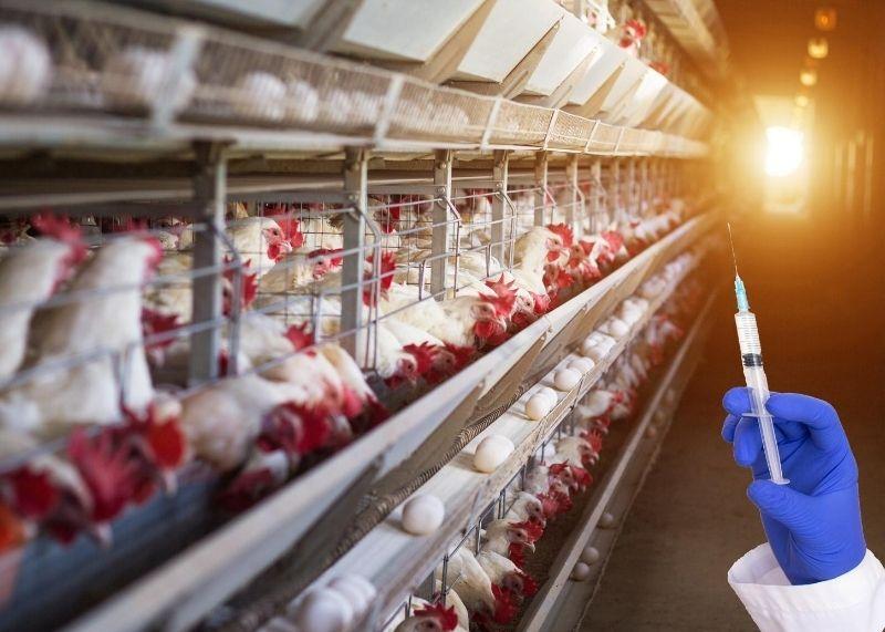 poultry antibiotitics