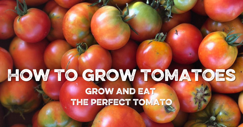 How To Grow Tomatoes: Grow and Eat the Perfect Tomato