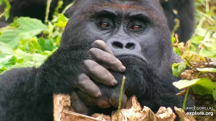gorilla out in the wild