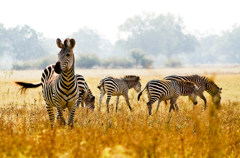 Zebras in the African savanna.