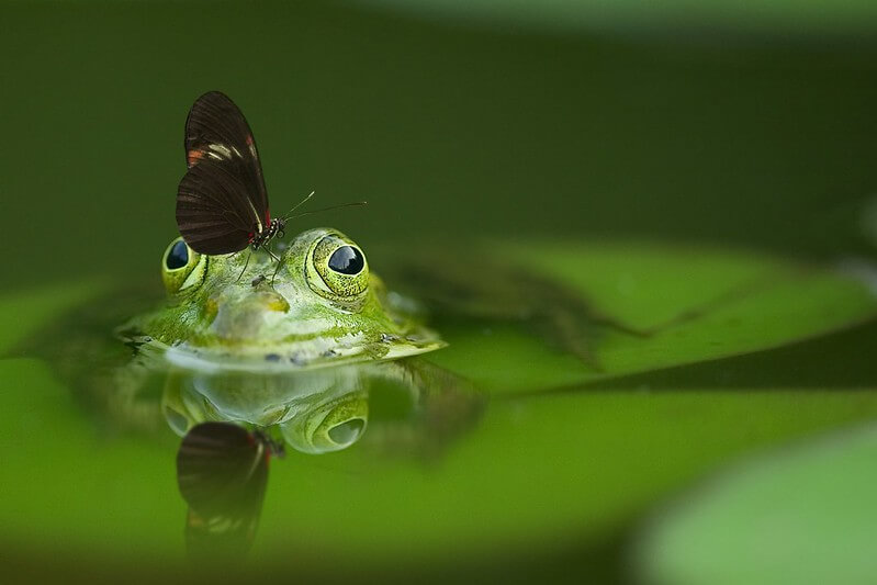 A frog sitting on a lily pad in the pond.