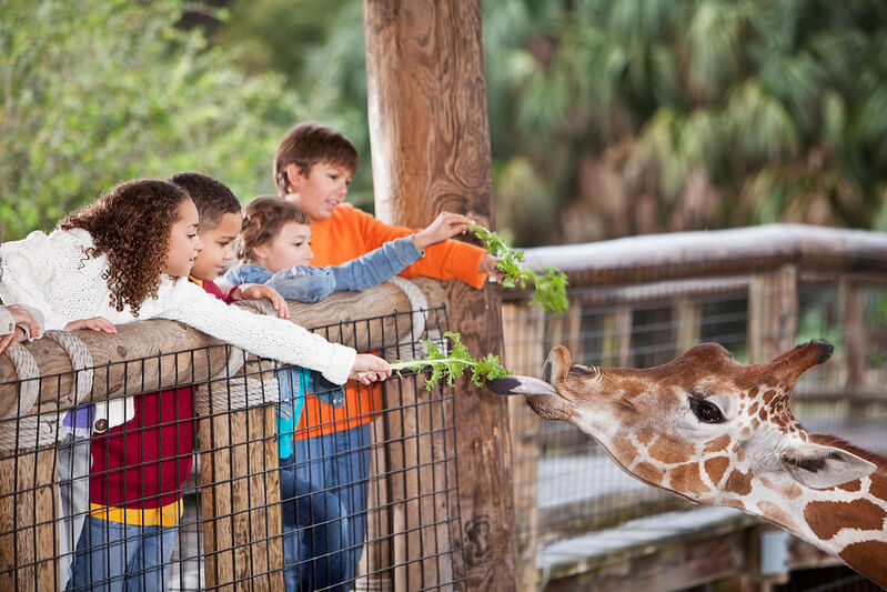 Kids Feeding A Giraffe Greens