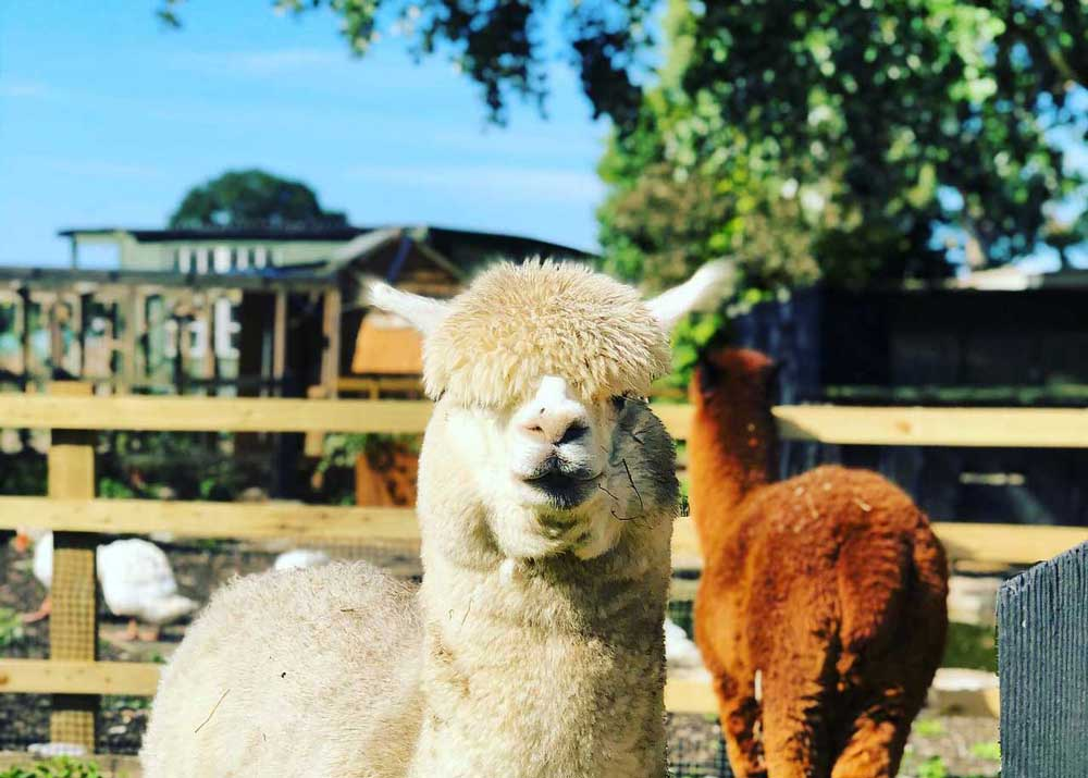 Farm animals at Aldenham Country Park.