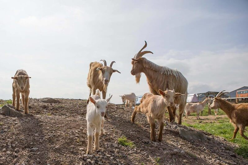 Goats standing on a hill to inspire goat jokes