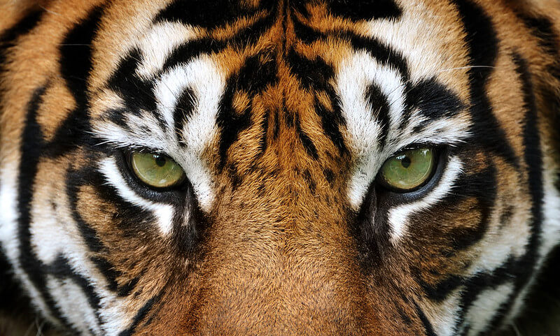 close up of tiger's eyes for a tiger quiz