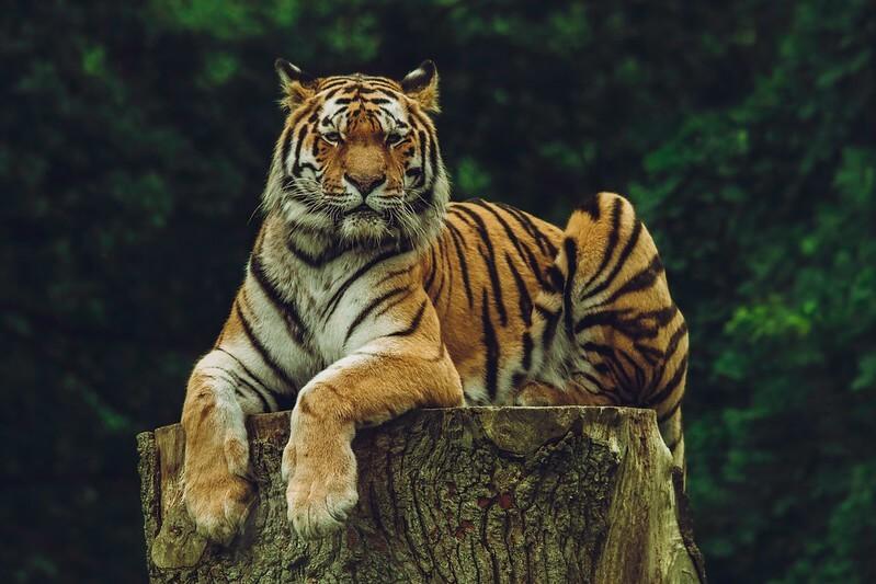 majestic tiger sitting on a log
