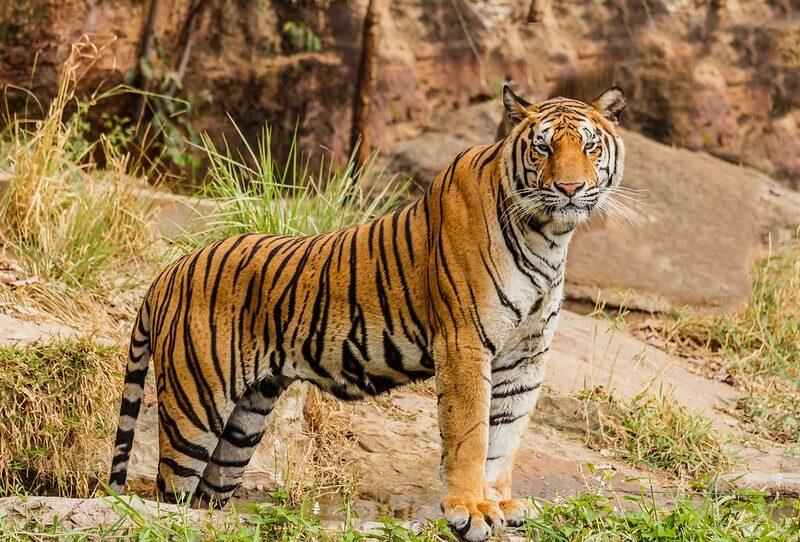 large tiger standing on rocks