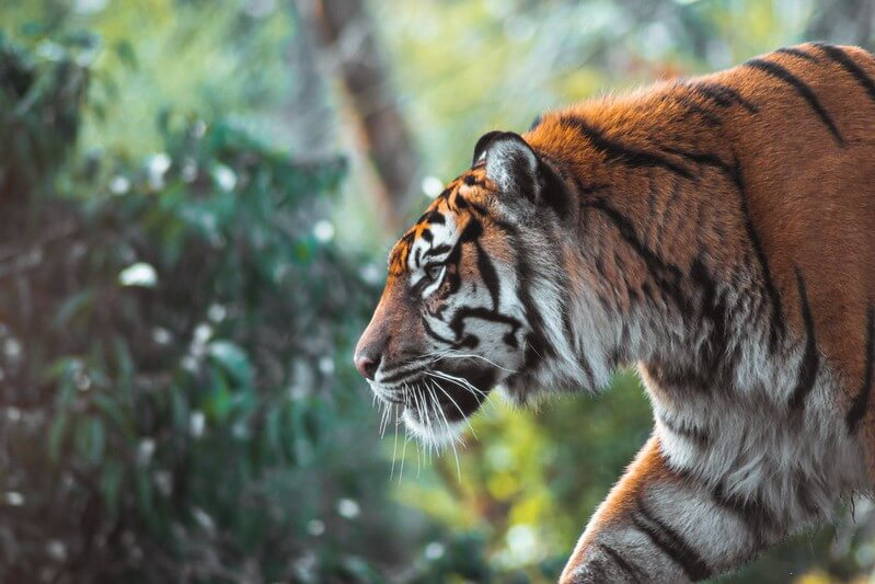side profile of a tiger hunting