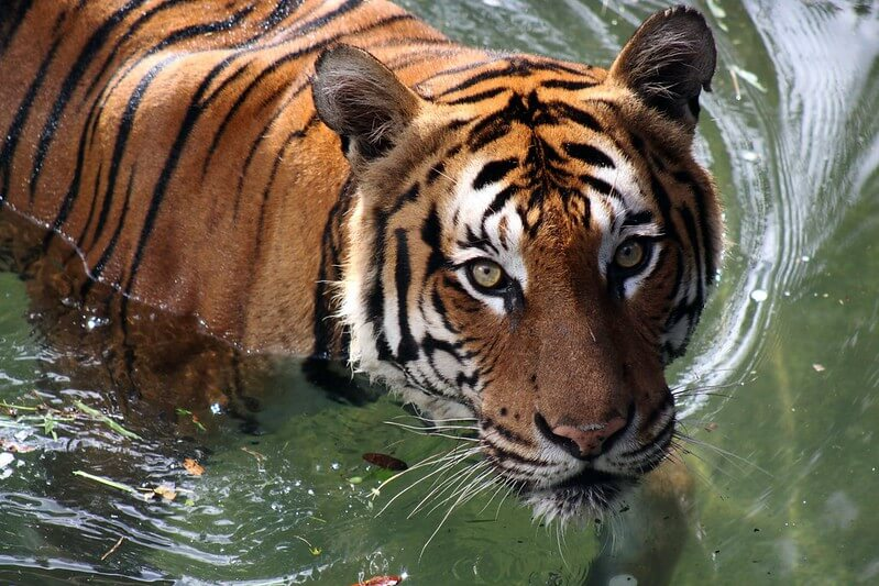 tiger swimming in water