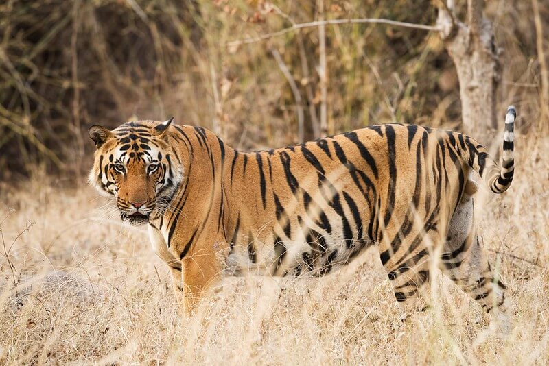 tiger walking in long grass