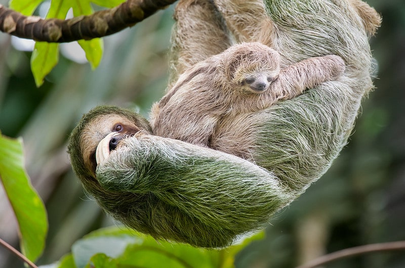 Mum sloth and baby sloth in a tree in Costa Rica