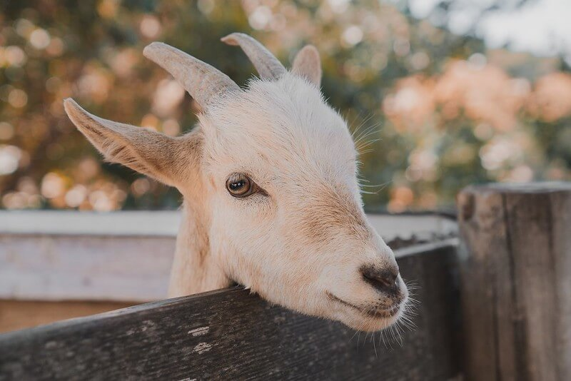 goat looking over a fence at a children's farm