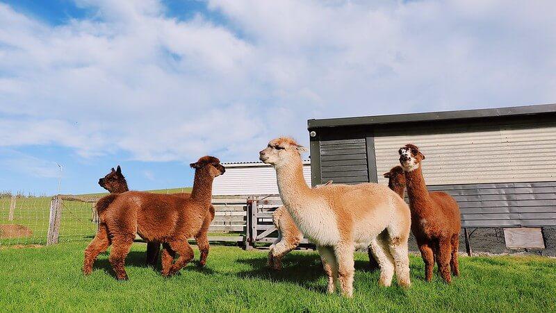 alpacas at a children's farm