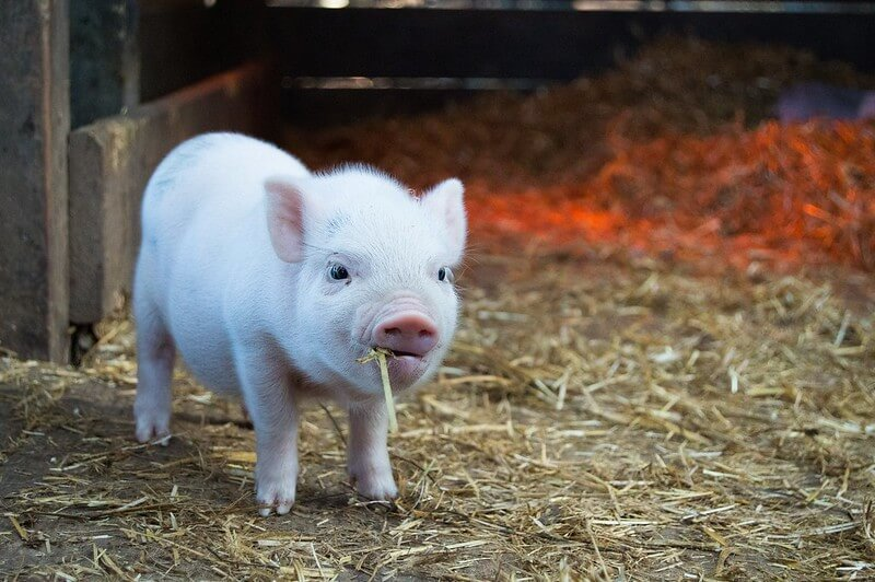 piglet eating at a children's farm