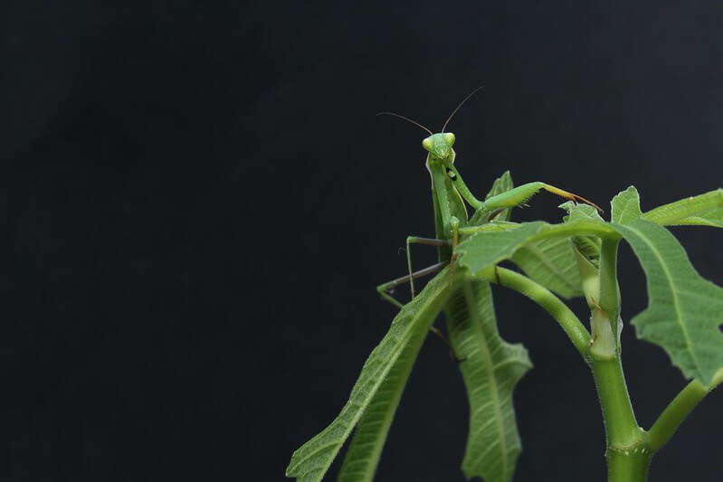 Praying Mantis on a leaf, inspiring fantastic minibeasts activities