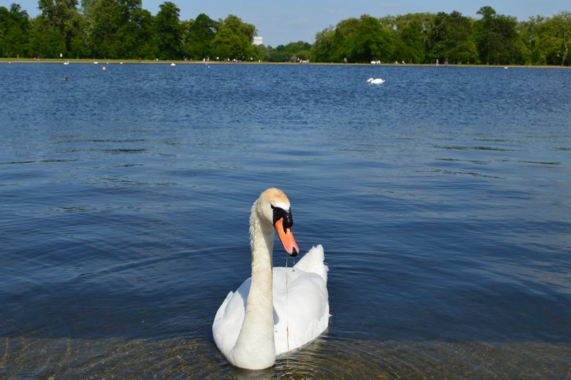 A swan swimming in the Serpentine at Hyde Park.