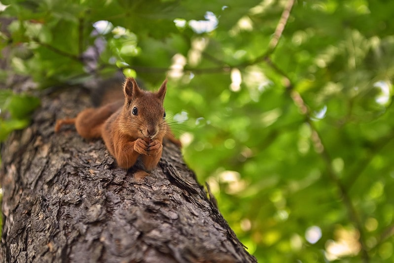 Squirrel stretched out lying on a tree.