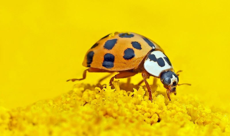 Close up of an orange ladybird on a yellow background, on a yellow flower