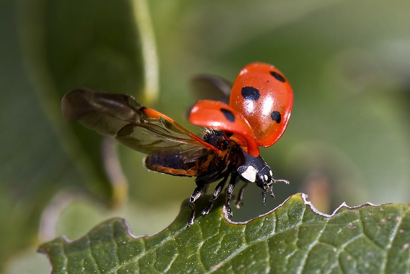 Close up of a ladybird taking flight from a leaf