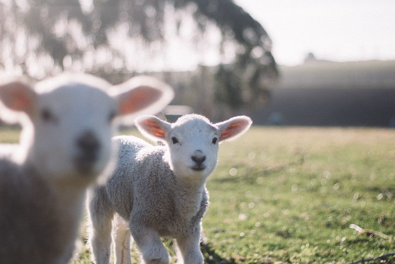 Two lamb in a field on a farm.