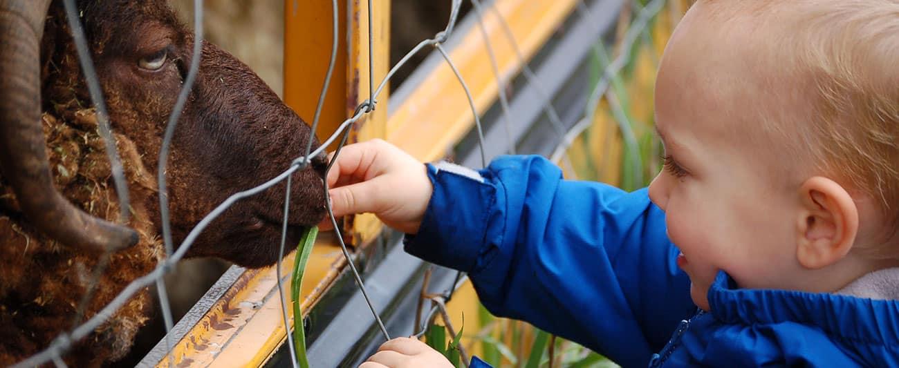 Toddler feeding a ram through the fence at Reddish Vale Farm.