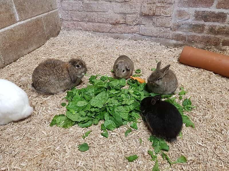 Four rabbits feeding on lettuce leaves.