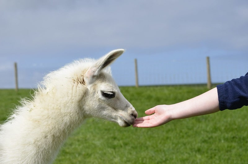 Child sticking out their arm to feed a llama at Playdale Farm Park.
