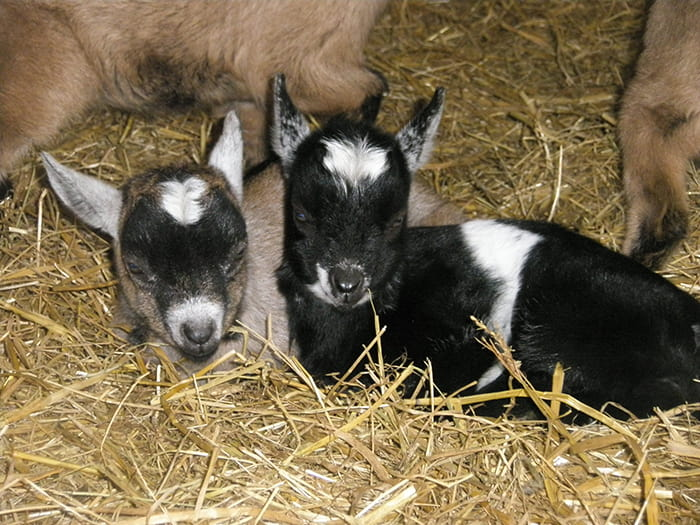 Baby goats sitting in the hay next to their mum.