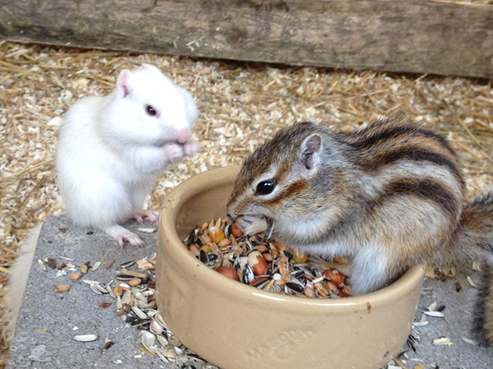 Mouse and striped squirrel feeding on nuts with stuffed cheeks.c