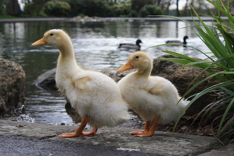 Two young ducks by the pond at Greenhead Park, Huddersfield.