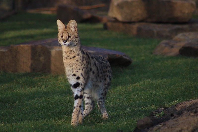 A serval - one of the exotic animals at Ponderosa Zoo.