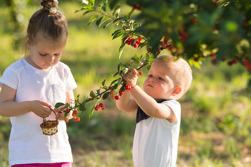 Two young children picking cherries from a tree.