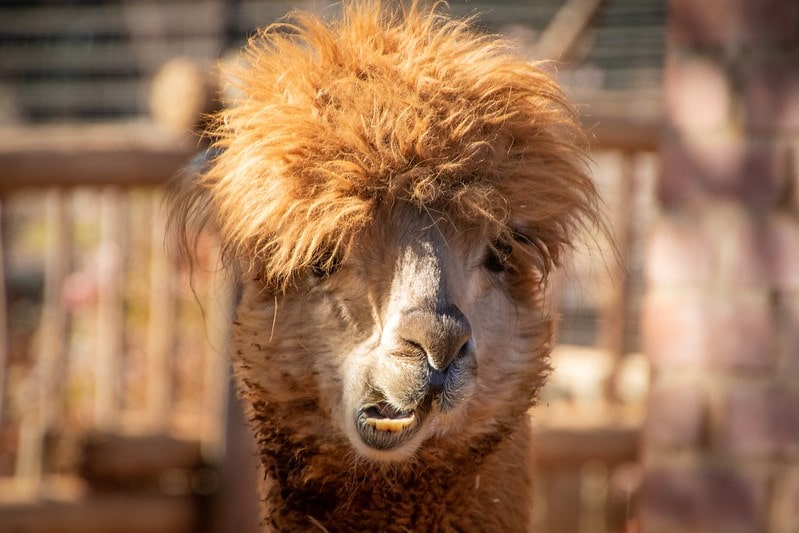 Brown alpaca moving its mouth making a funny face.