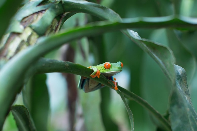 Bright-eyed frog sitting on a tree in the rainforest.