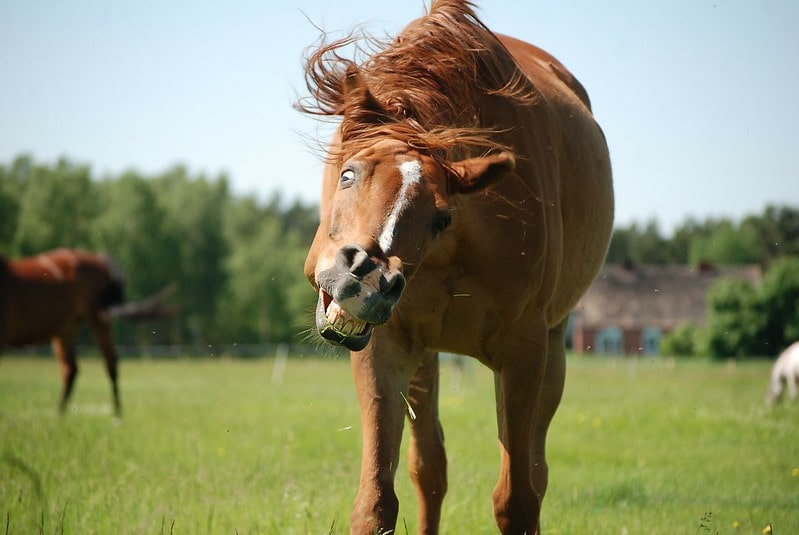 A horse laughing and shaking its head.
