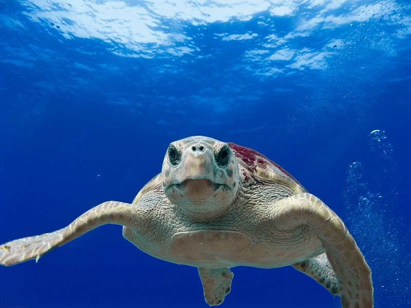 Turtle swimming in the sea.