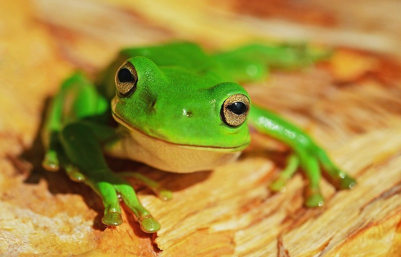 A wide-eyed frog on a table staring at the camera.