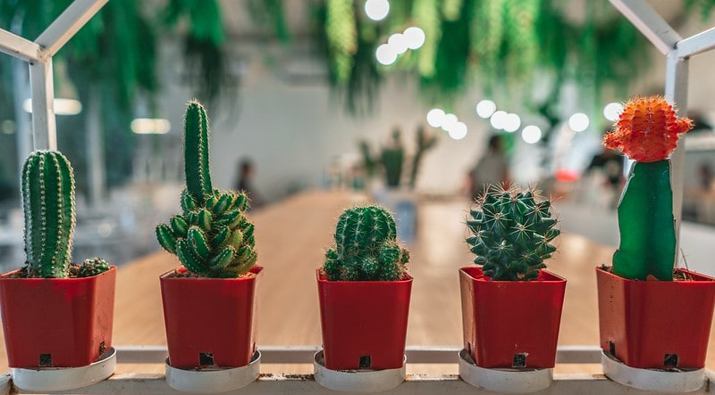 Five potted cacti in front of a table.