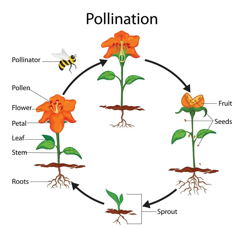 Annotated diagram of the pollination process.